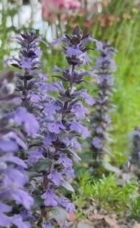 花,春,屋外,紫,ムスカリ,蘭,草木,フローラ