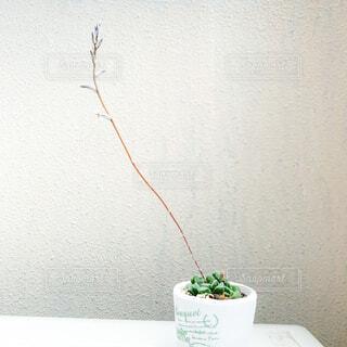 ハオルチアの花の写真・画像素材[4320439]
