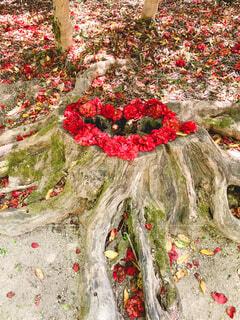 花,春,木,屋外,赤,かわいい,花びら,赤い花,椿,樹木,ハート,切り株,地面,ネイチャー,レッド,ツバキ,根,草木,落ち花