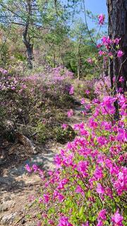 ツツジ咲く山道の写真・画像素材[4332873]