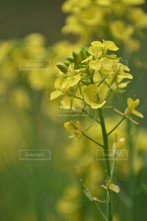 花,春,緑,黄色,菜の花,草木
