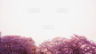 空,花,桜,屋外,樹木,草木