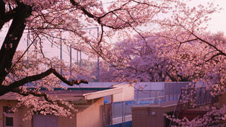 花,春,桜,屋外,樹木,桜の花,さくら