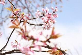花,春,屋外,ピンク,カラー,桜の花,さくら,ブロッサム