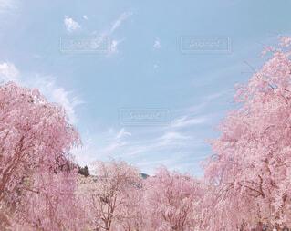 青と桃色の写真・画像素材[4372267]