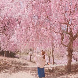 千本桜の写真・画像素材[4372917]