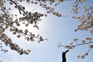 晴天に向かって咲く桜の花達🌸🍃🍵の写真・画像素材[4310495]