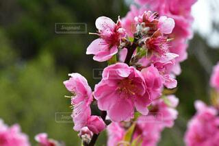 風景,花,桜,屋外,ピンク,散歩,景色,鮮やか,爽やか,美しい,キラキラ,元気,幸せ,八重桜,happy,さわやか,一眼レフ,beautiful,camera,草木,さくら,cherryblossom,色鮮やか,ブロッサム,やえざくら,NikonD7500