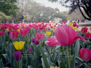 公園,花,春,屋外,ピンク,チューリップ,樹木,草木,ブロッサム