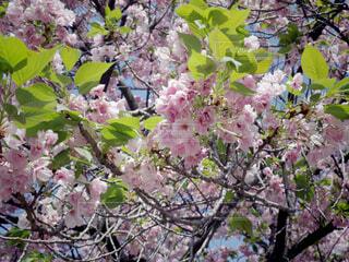 花,春,屋外,ピンク,青空,散歩,樹木,草木,桜の花,4月,さくら,ブルーム,ブロッサム