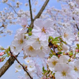 花,春,屋外,樹木,恋,入学式,草木,桜の花,卒業式,さくら,ポカポカ,ブルーム,新しい出発