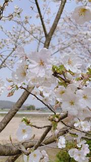 花,満開,樹木,青春,恋,入学式,草木,卒業式,さくら,ブルーム,ブロッサム,故郷の春