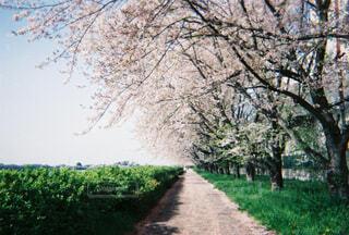 風景,空,花,春,桜,森林,屋外,ピンク,緑,桜並木,樹木,道,グリーン,一本道,汚れ,草木,さくら,ブロッサム,パス
