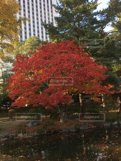日本庭園で撮った紅葉の写真・画像素材[4312991]