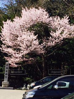 花,春,桜,屋外,車,樹木,通り,北海道神宮,円山公園