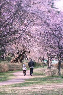 子ども,家族,自然,花,春,桜,自転車,森林,木,屋外,ピンク,桜並木,子供,草,樹木,道,幸せ,大人,お母さん,草木,お父さん,さくら,ブロッサム