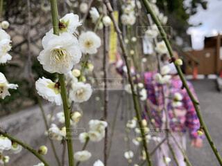 花,春,屋外,白,梅,草木,梅花,2月