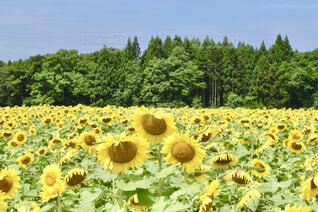 一面に広がる向日葵の写真・画像素材[4316061]