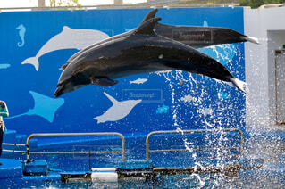 水しぶきをあげる2匹のイルカの写真・画像素材[4370624]