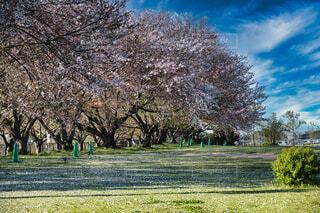 風景,空,公園,桜,屋外,晴れ,草,樹木,草木