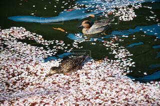 春,桜,動物,水面,池,カルガモ,水鳥