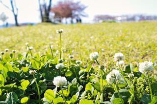 公園,花,屋外,景色,草,シロツメクサ,草木,ガーデン