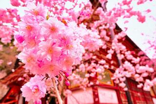 風景,花,春,神社,草木,ブロッサム