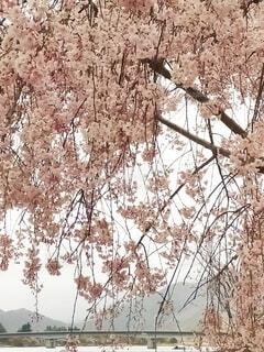 花,しだれ桜,地図,河口湖,河口湖大橋
