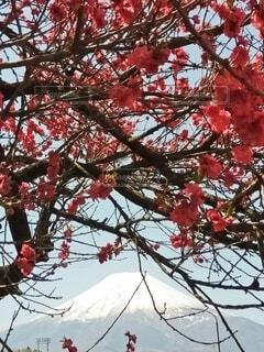 花,富士山,赤,草木
