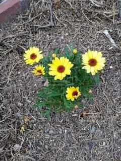 花,屋外,ひまわり,黄色,景色,草,草木,キク目
