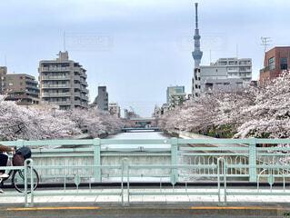 空,建物,桜,橋,自転車,屋外,ピンク,スカイツリー,都会,高層ビル,歩道