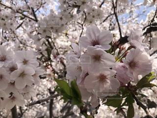 花,春,桜,屋外,景色,樹木,草木,桜の花,葉桜,さくら,ブルーム,ブロッサム