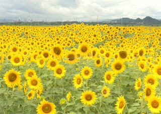 広いひまわり畑の写真・画像素材[4316462]