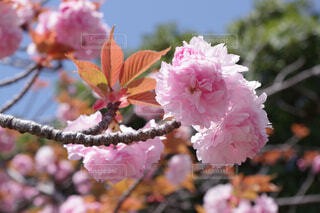 暖かい日を浴びた八重桜の写真・画像素材[4332222]