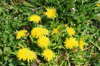ある春の日のタンポポの写真・画像素材[4339570]