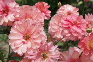 赤色に近いピンクのエリスの写真・画像素材[4361311]