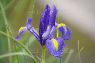 水辺の紫色の花の写真・画像素材[4361333]