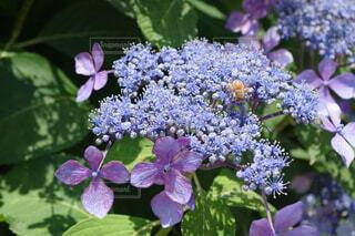 ガクアジサイと蜂の写真・画像素材[4619242]