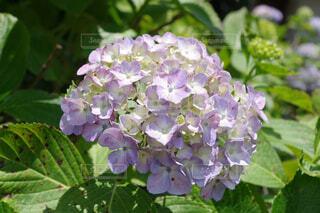 優しい紫色の紫陽花の写真・画像素材[4619262]