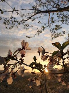 自然,空,花,春,夕日,桜,屋外,夕焼け,葉,影,サクラ,樹木,夕陽,草木,さくら,インスタ映え