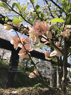 花,春,屋外,ピンク,樹木,草木