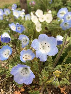 花,雨,かわいい,きれい,水色,ネモフィラ