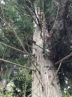 屋外,大木,樹木,杉,草木