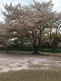 桜,桜の絨毯,さくら