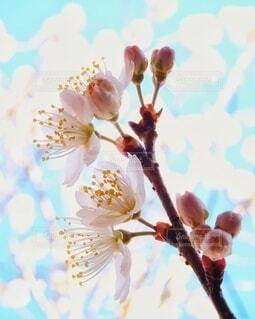 サクランボの花クローズアップの写真・画像素材[4319029]