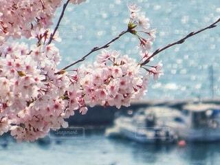 桜と海が見える春の港町の写真・画像素材[4320048]