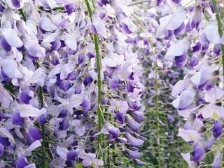藤の花クローズアップの写真・画像素材[4321476]