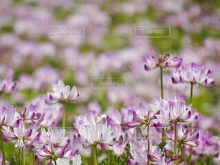 懐かしき蓮華畑 (Sサイズ)の写真・画像素材[4321479]