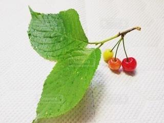 収穫されたサクランボの枝の写真・画像素材[4321478]