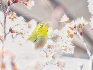桜の花に囲まれて、思いを馳せるメジロの写真・画像素材[4322272]